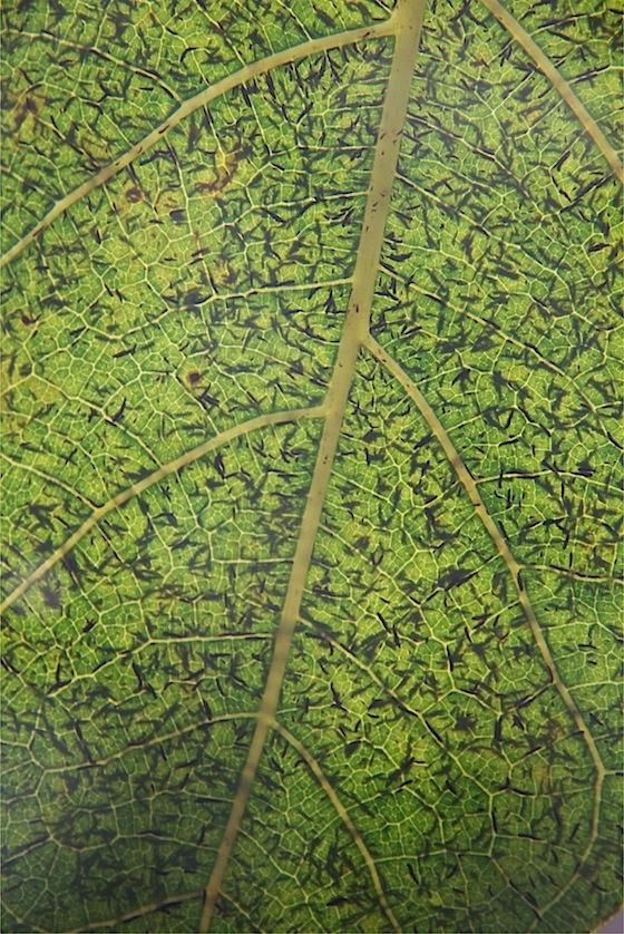 leaf-macro-Matthaei-IMG_9499.jpg