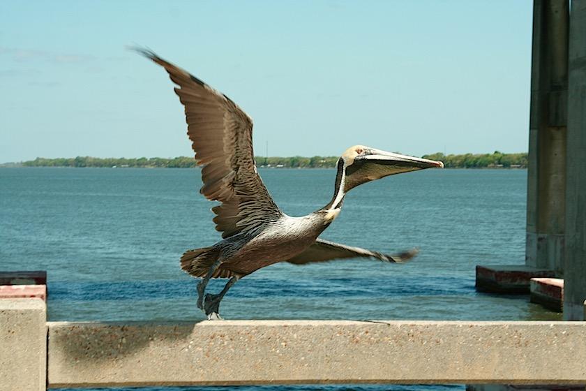 Pelican Merritt Island Florida